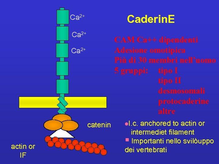 Caderin. E Ca 2+ CAM Ca++ dipendenti Adesione omotipica Più di 30 membri nell'uomo