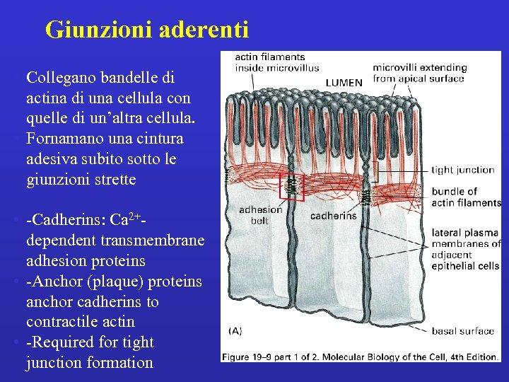 Giunzioni aderenti • Collegano bandelle di actina di una cellula con quelle di un'altra