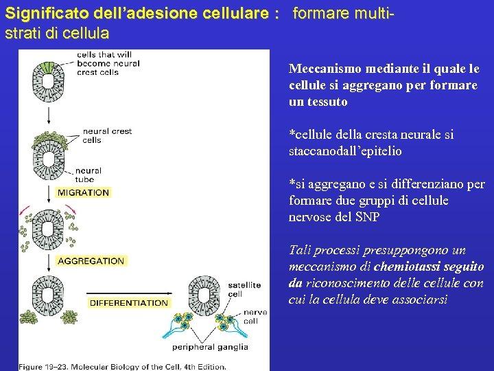Significato dell'adesione cellulare : formare multistrati di cellula Meccanismo mediante il quale le cellule