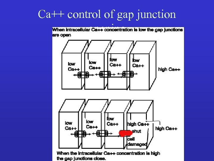 Ca++ control of gap junction opening •