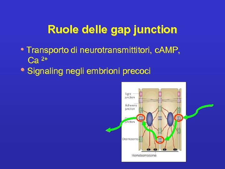 Ruole delle gap junction • Transporto di neurotransmittitori, c. AMP, Ca 2+ • Signaling