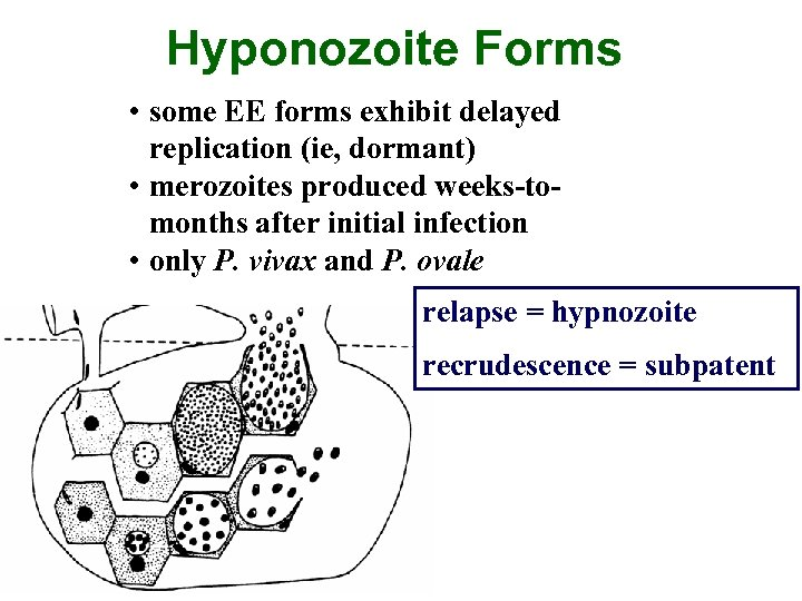Hyponozoite Forms • some EE forms exhibit delayed replication (ie, dormant) • merozoites produced