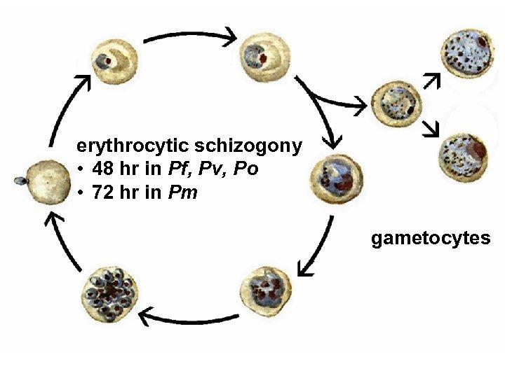erythrocytic schizogony • 48 hr in Pf, Pv, Po • 72 hr in Pm