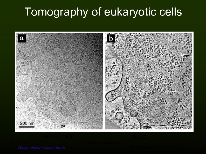 Tomography of eukaryotic cells PROJECTION 2008 -05 -28 Dictyostelium discoideum SLICE Molecules in the