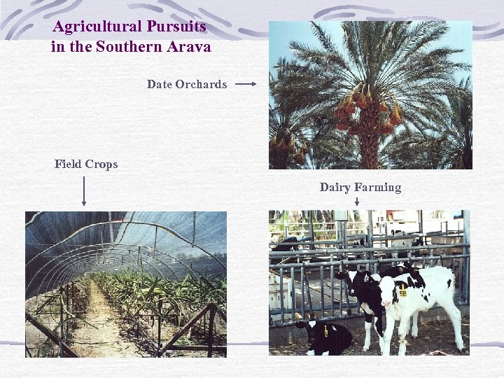 Agricultural Pursuits in the Southern Arava Date Orchards Field Crops Dairy Farming