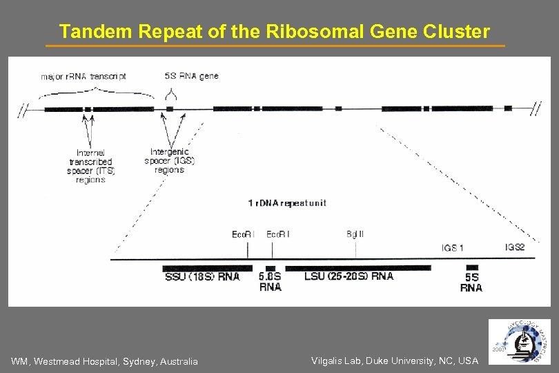 Tandem Repeat of the Ribosomal Gene Cluster WM, Westmead Hospital, Sydney, Australia Vilgalis Lab,