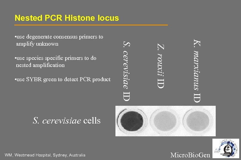 Nested PCR Histone locus K. marxianus ID • use SYBR green to detect PCR