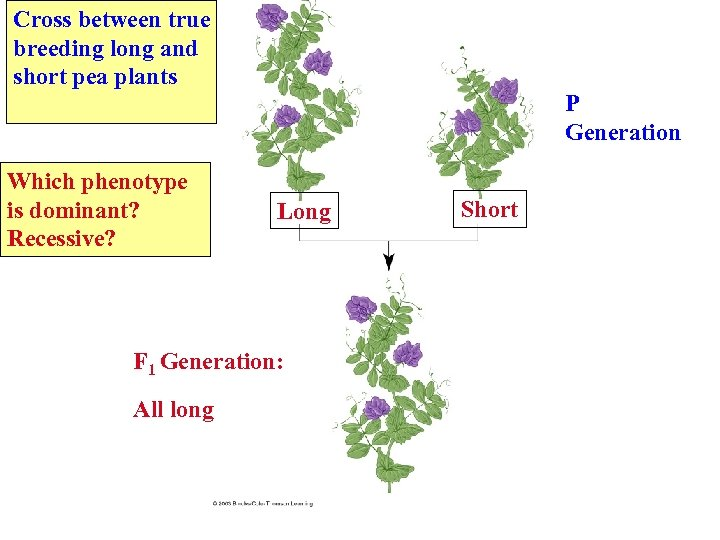 Cross between true breeding long and short pea plants Which phenotype is dominant? Recessive?
