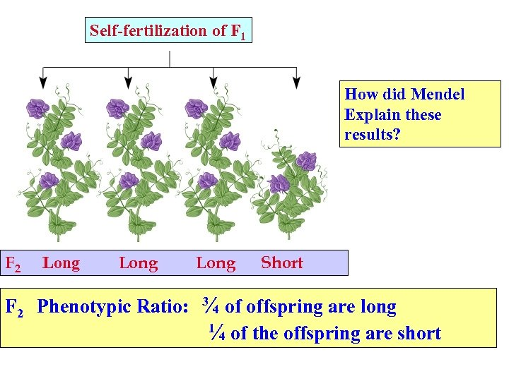 Self-fertilization of F 1 How did Mendel Explain these results? F 2 Long Short