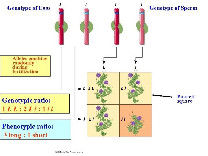 Genotype of Eggs Genotype of Sperm Alleles combine randomly during fertilization Genotypic ratio: 1