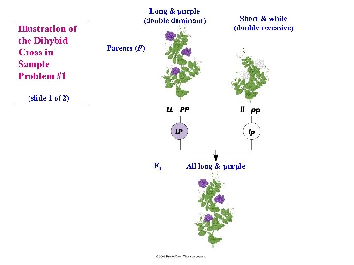 Illustration of the Dihybid Cross in Sample Problem #1 Long & purple (double dominant)