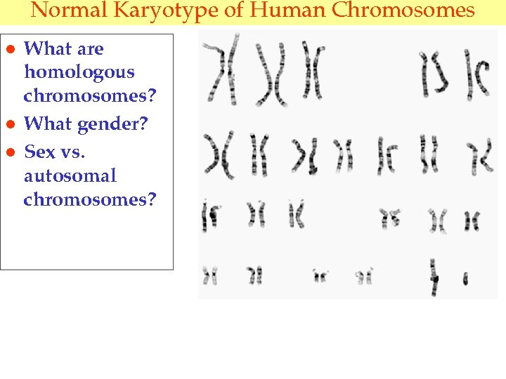 Normal Karyotype of Human Chromosomes l l l What are homologous chromosomes? What gender?