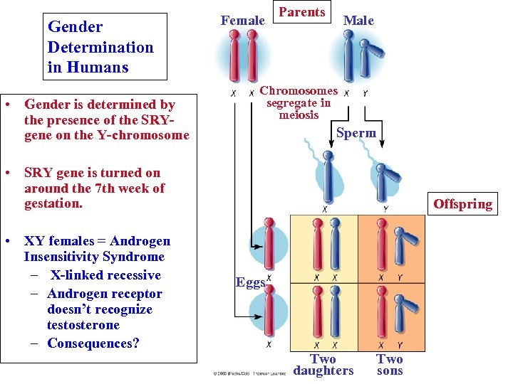Gender Determination in Humans • Gender is determined by the presence of the SRYgene