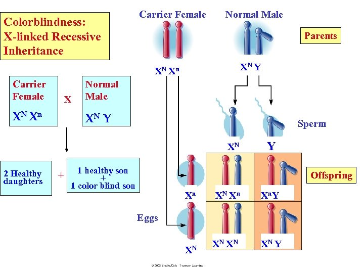 Colorblindness: X-linked Recessive Inheritance Carrier Female Normal Male Parents XN Y XN Xn Carrier