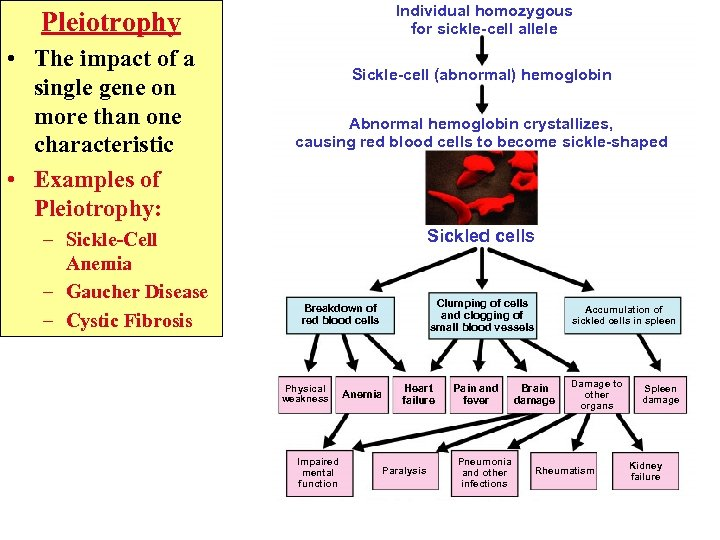 Individual homozygous for sickle-cell allele Pleiotrophy • The impact of a single gene on