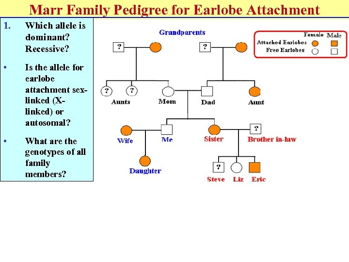 Marr Family Pedigree for Earlobe Attachment 1. Which allele is dominant? Recessive? • Is
