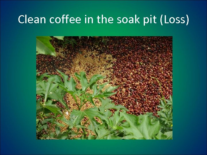 Clean coffee in the soak pit (Loss)