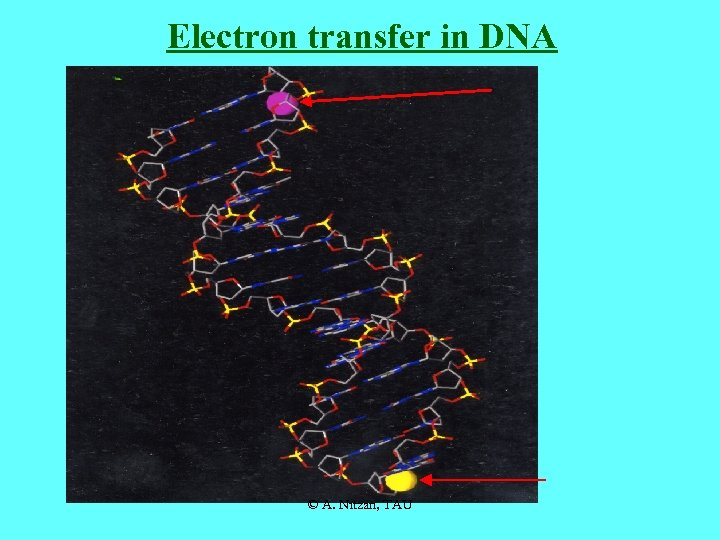 Electron transfer in DNA © A. Nitzan, TAU