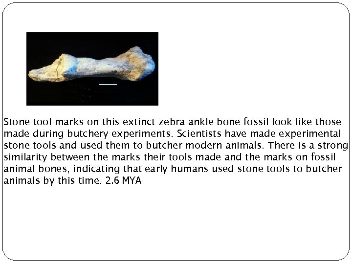 Stone tool marks on this extinct zebra ankle bone fossil look like those made