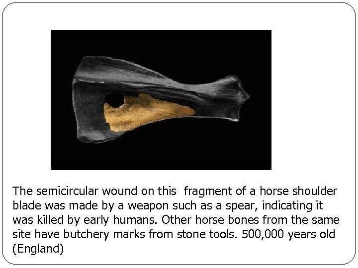 The semicircular wound on this fragment of a horse shoulder blade was made by