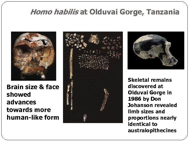 Homo habilis at Olduvai Gorge, Tanzania Brain size & face showed advances towards more