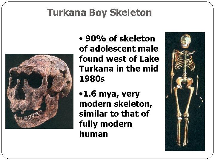 Turkana Boy Skeleton • 90% of skeleton of adolescent male found west of Lake