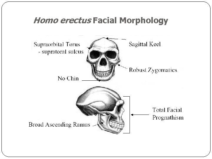 Homo erectus Facial Morphology