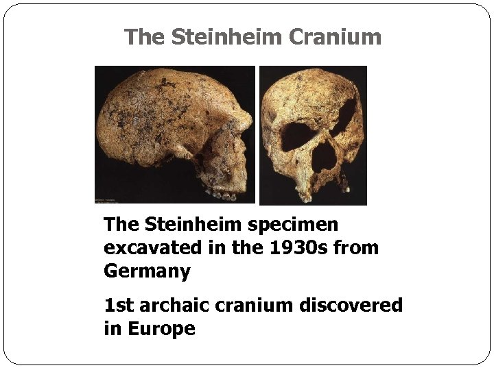 The Steinheim Cranium The Steinheim specimen excavated in the 1930 s from Germany 1