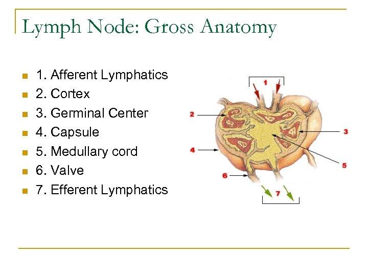 Lymph Node: Gross Anatomy n n n n 1. Afferent Lymphatics 2. Cortex 3.