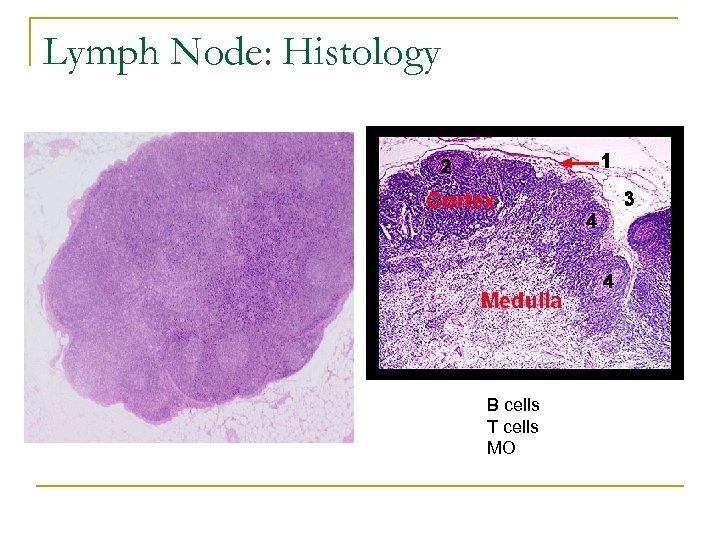 Lymph Node: Histology B cells T cells MO