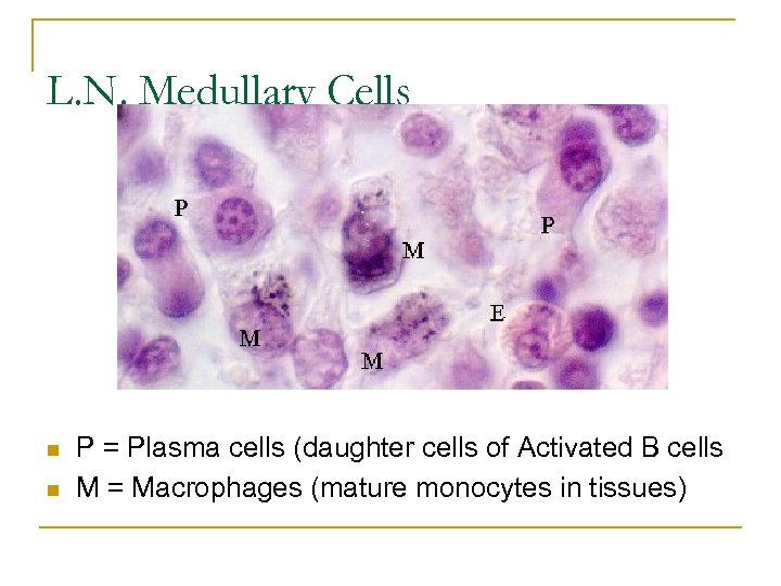 L. N. Medullary Cells n n P = Plasma cells (daughter cells of Activated