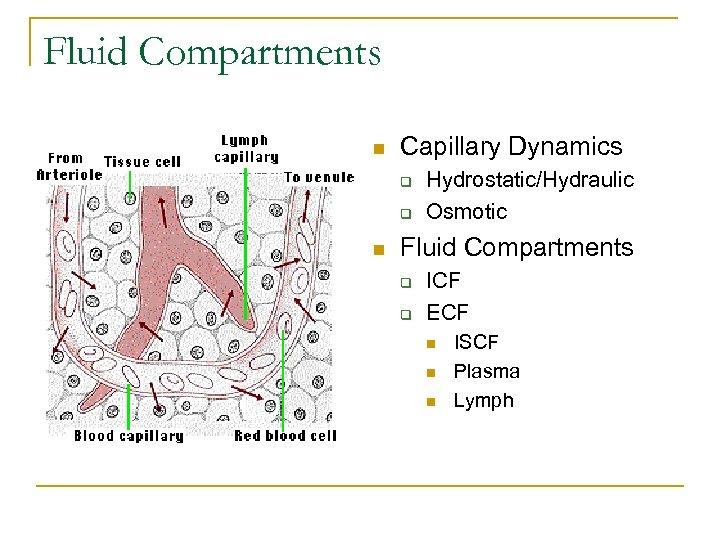 Fluid Compartments n Capillary Dynamics q q n Hydrostatic/Hydraulic Osmotic Fluid Compartments q q