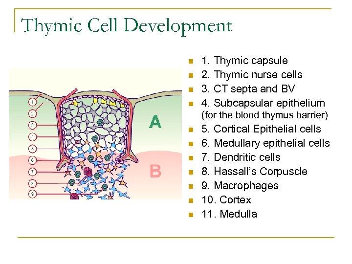 Thymic Cell Development n n n 1. Thymic capsule 2. Thymic nurse cells 3.