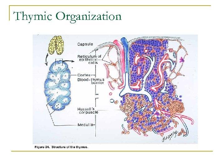Thymic Organization