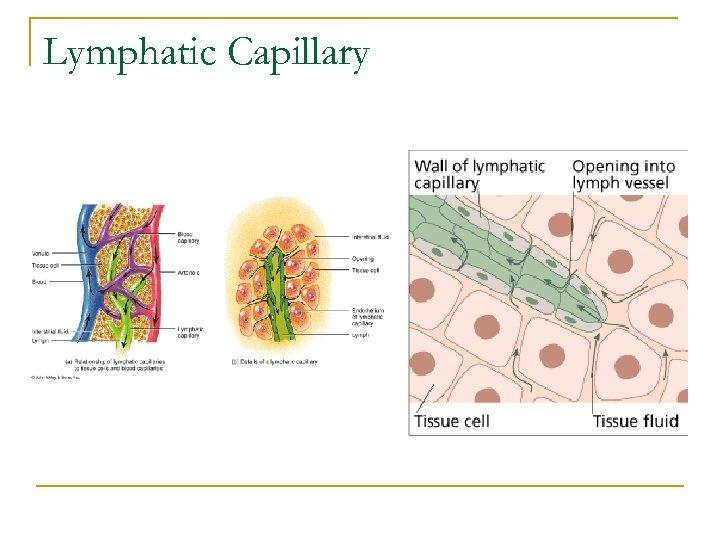 Lymphatic Capillary
