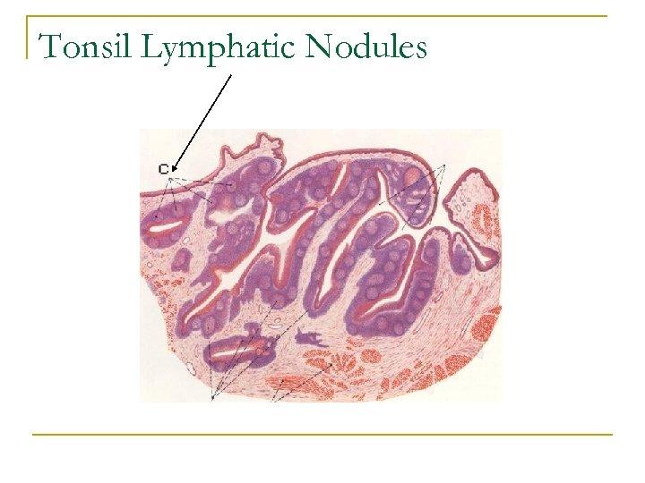 Tonsil Lymphatic Nodules