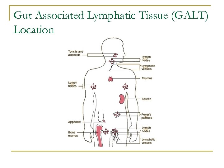 Gut Associated Lymphatic Tissue (GALT) Location