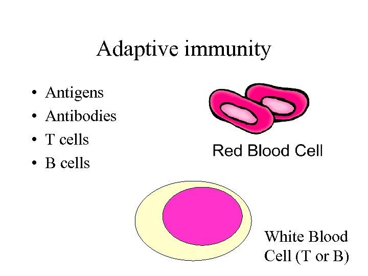 Adaptive immunity • • Antigens Antibodies T cells B cells White Blood Cell (T