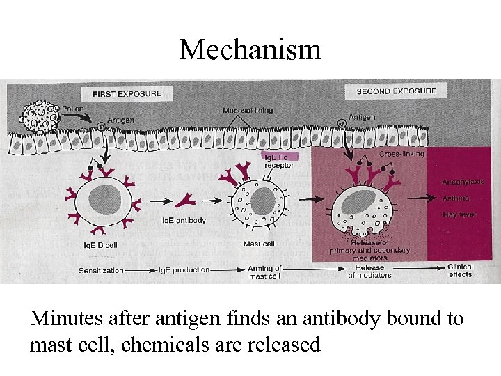 Mechanism Minutes after antigen finds an antibody bound to mast cell, chemicals are released