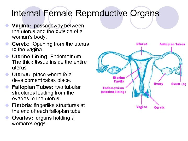 Internal Female Reproductive Organs l Vagina: passageway between the uterus and the outside of