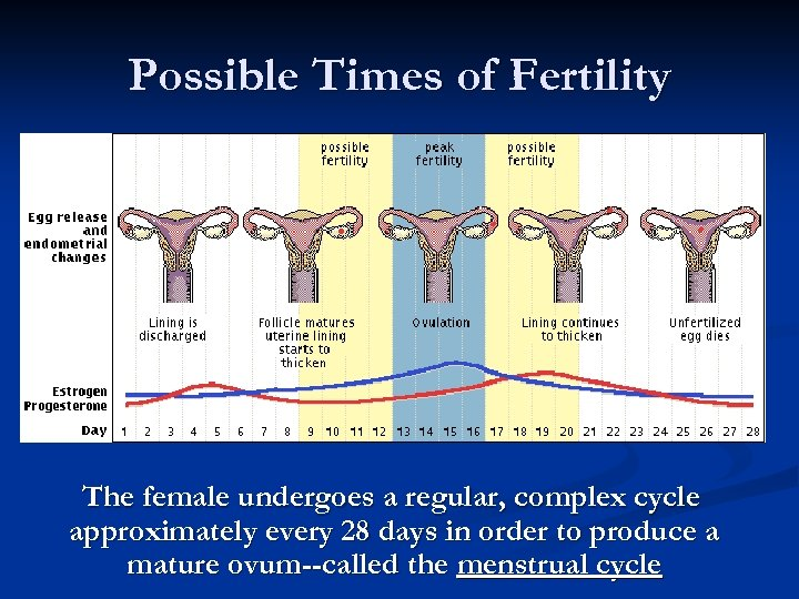 Possible Times of Fertility The female undergoes a regular, complex cycle approximately every 28