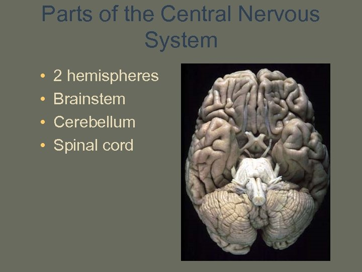 Parts of the Central Nervous System • • 2 hemispheres Brainstem Cerebellum Spinal cord