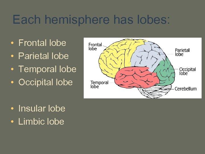 Each hemisphere has lobes: • • Frontal lobe Parietal lobe Temporal lobe Occipital lobe