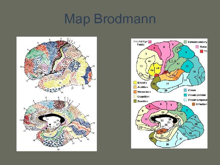 Map Brodmann