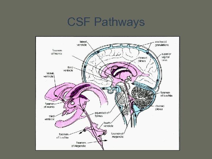 CSF Pathways