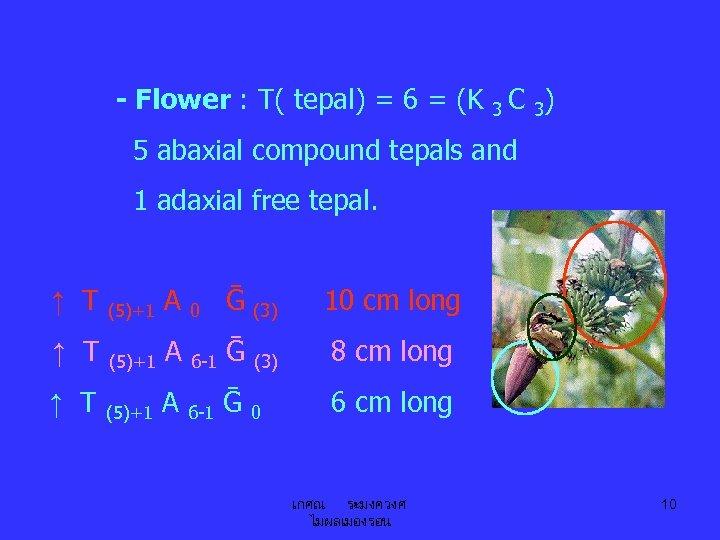 - Flower : T( tepal) = 6 = (K 3 C 3) 5 abaxial