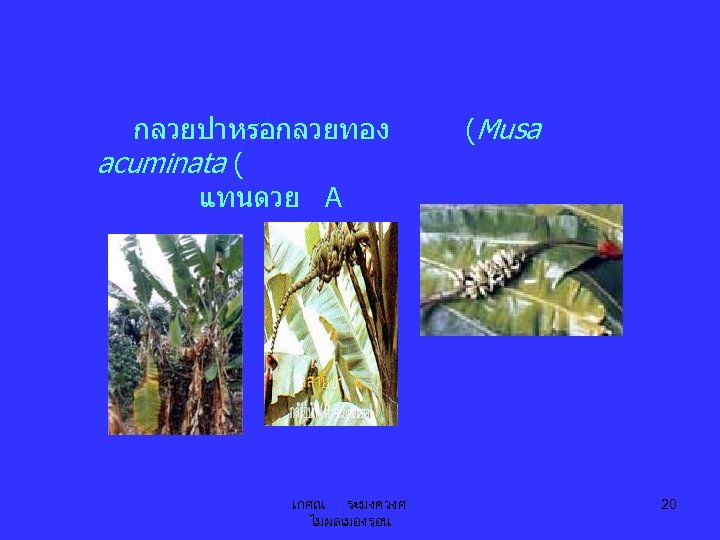 กลวยปาหรอกลวยทอง acuminata ( แทนดวย A เกศณ ระมงควงศ ไมผลเมองรอน (Musa 20