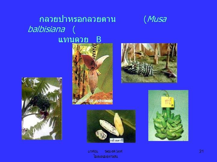 กลวยปาหรอกลวยตาน balbisiana ( แทนดวย B เกศณ ระมงควงศ ไมผลเมองรอน (Musa 21