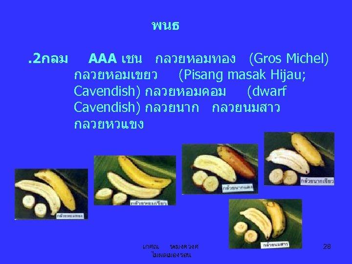 พนธ. 2กลม AAA เชน กลวยหอมทอง (Gros Michel) กลวยหอมเขยว (Pisang masak Hijau; Cavendish) กลวยหอมคอม (dwarf