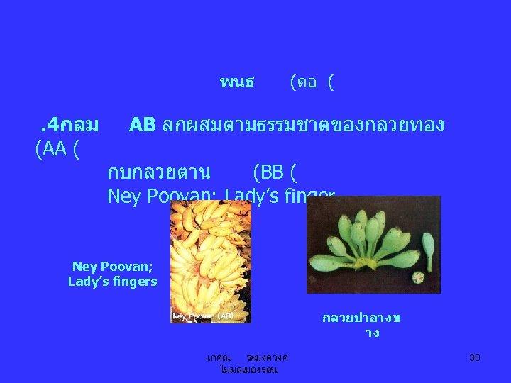 พนธ . 4กลม (AA ( (ตอ ( AB ลกผสมตามธรรมชาตของกลวยทอง กบกลวยตาน (BB ( Ney Poovan;